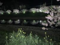 ダイビングの後は夜桜へ~[1]