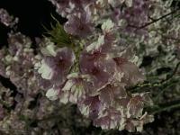 ダイビングの後は夜桜へ~[2]