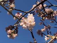 桜満開@南伊豆[1]