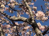 桜満開@南伊豆[2]