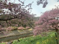 伊豆の春をお楽しみ下さい@雲見[1]