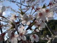 桜の下で入社式@雲見を潜るなら下田ダイバーズ[3]