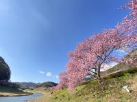 春の桜と菜の花[2]