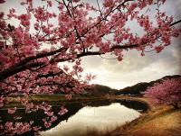 桜満開[1]