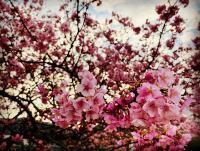 桜満開[2]