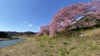 春の桜と菜の花[3]