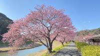 春の桜と菜の花[1]