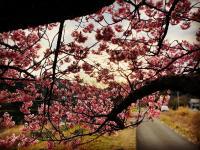 桜満開[5]
