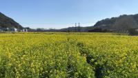 春の桜と菜の花[4]
