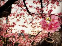 桜満開[3]