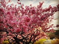 桜満開[4]