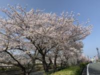 桜が満開[3]