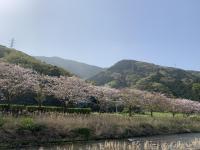 桜が満開[2]