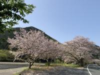 桜が満開[1]