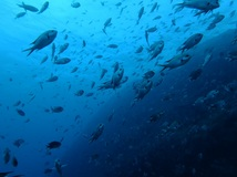 ザ・黒潮! 雲見2ボート・透視度25m/水温21.7℃/気温16℃! 水中は真っ青・陸はポカポカです![3]