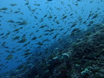 ザ・黒潮! 雲見2ボート・透視度25m/水温21.7℃/気温16℃! 水中は真っ青・陸はポカポカです![6]